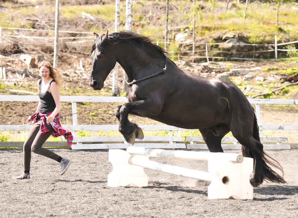 friesian jump