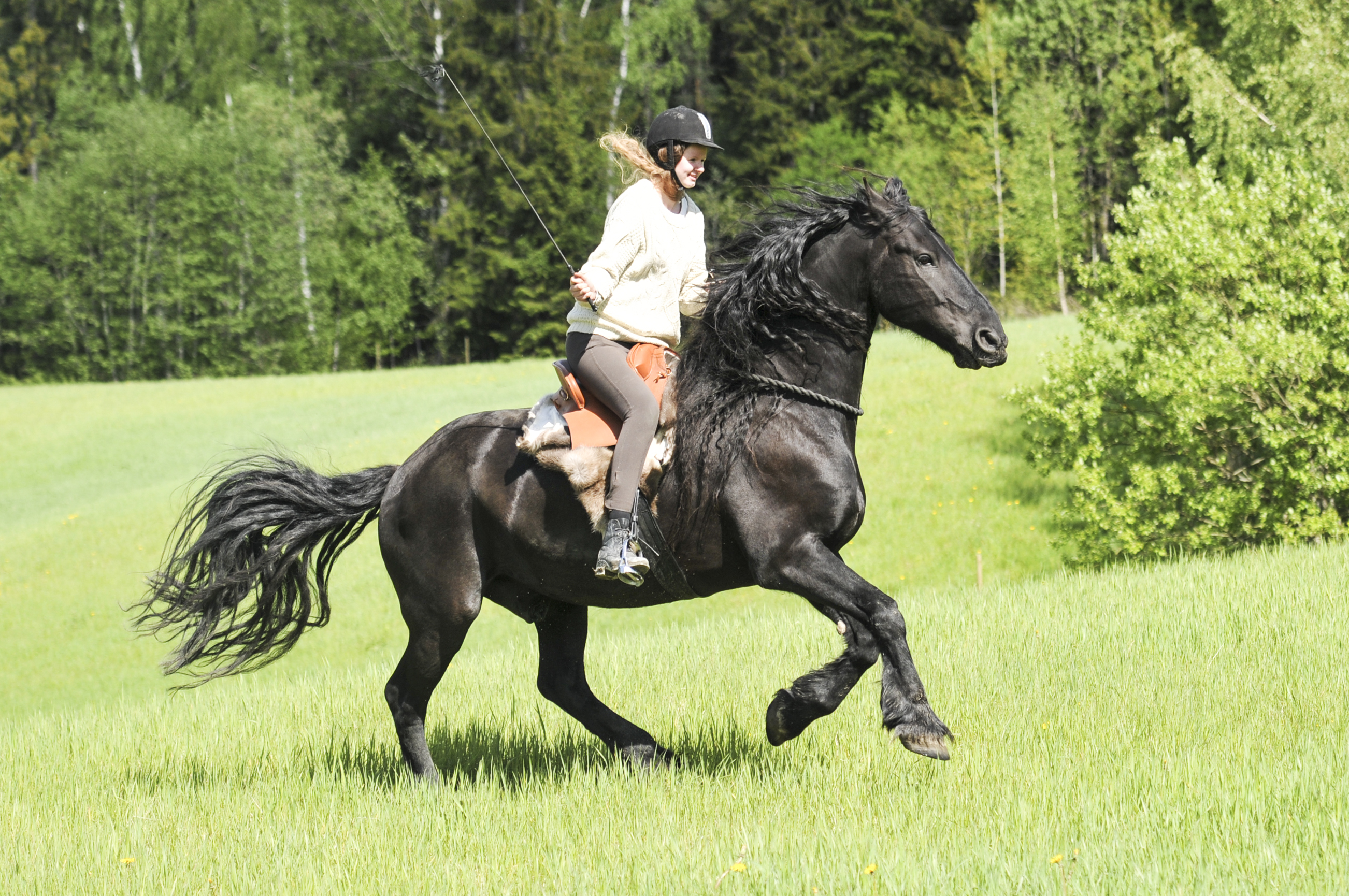 friesian tackless