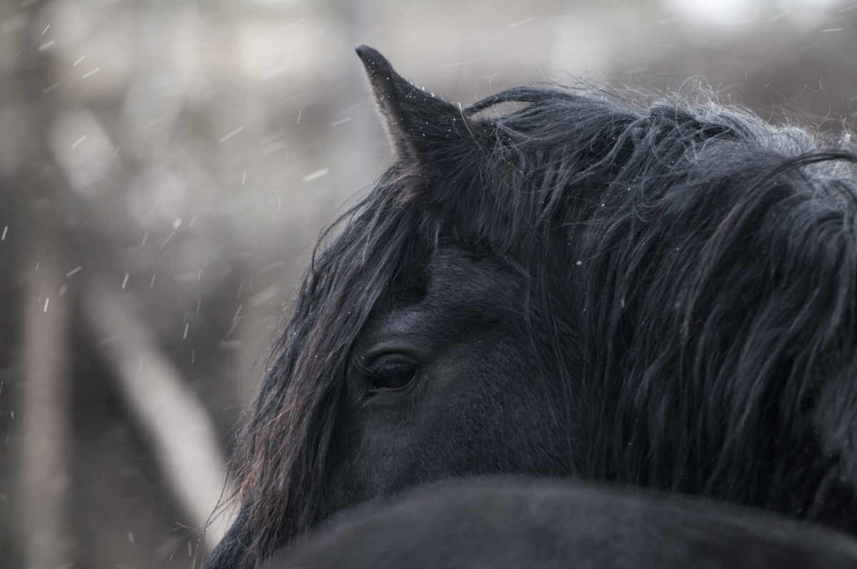 friesian horse photo1