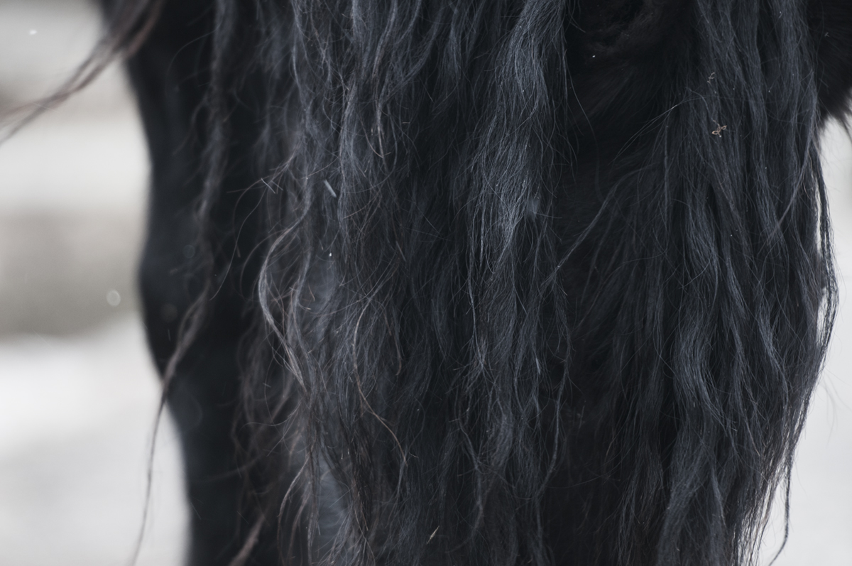 friesian horse photo2