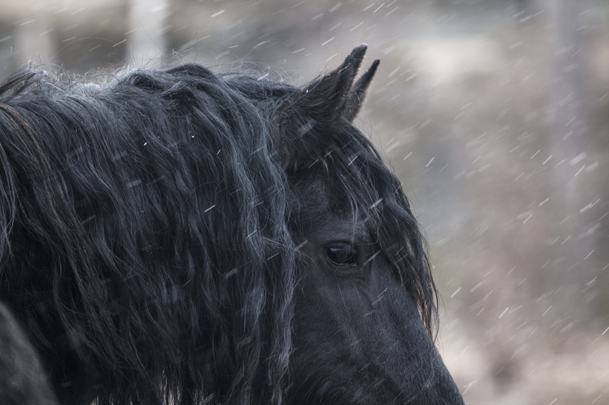 friesian horse photo4