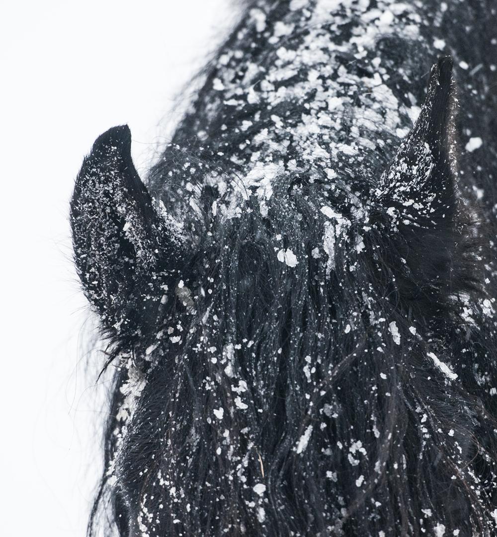friesian matilde brandt snow1