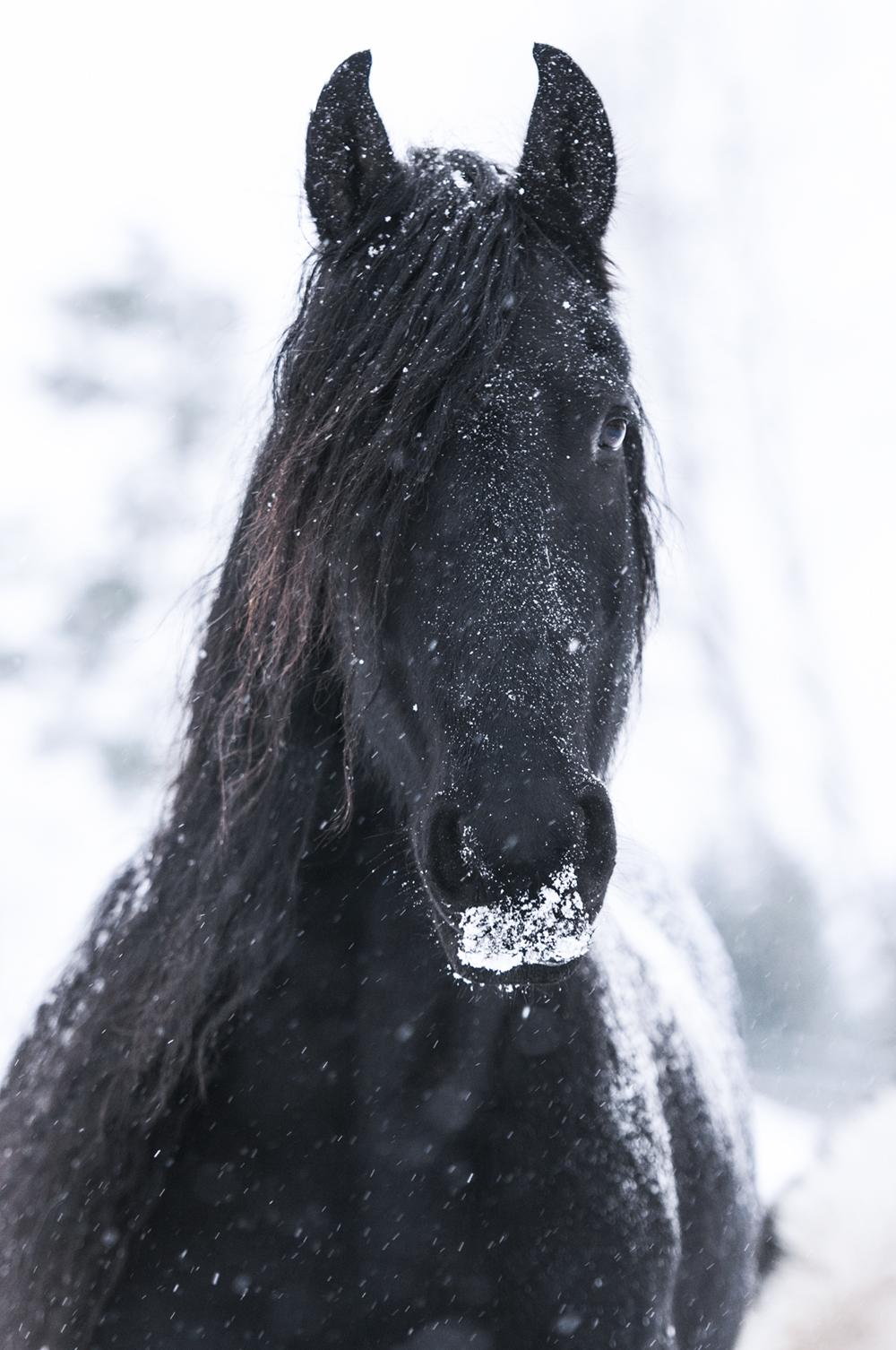 friesian matilde brandt snow11