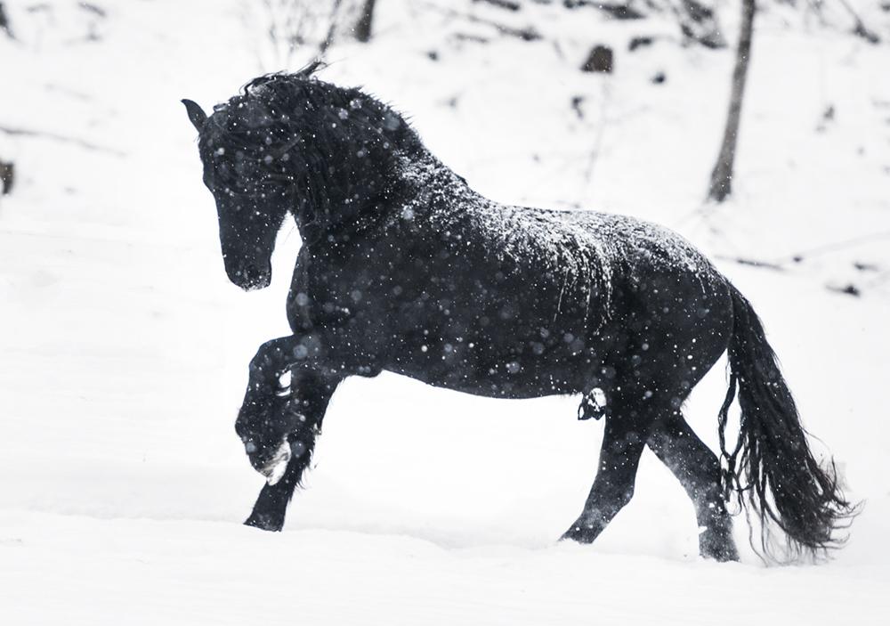 friesian matilde brandt snow12