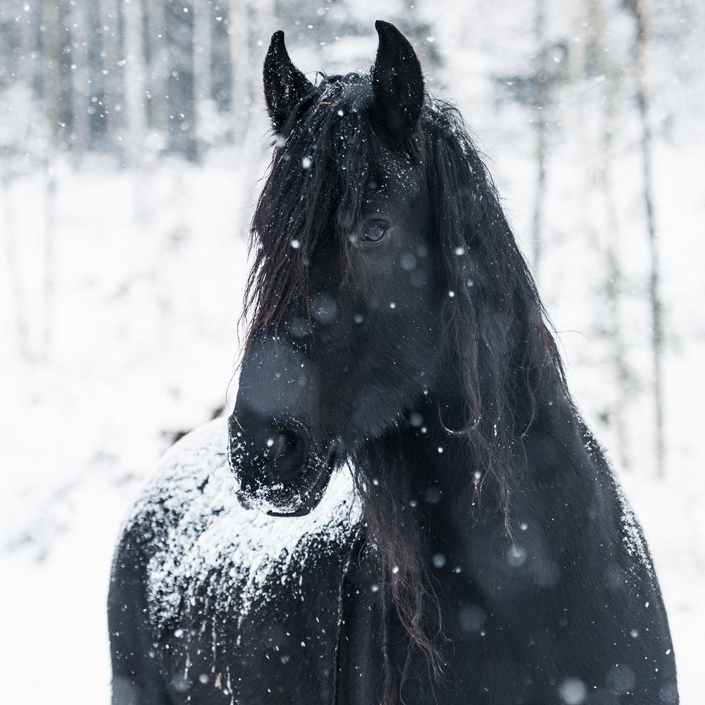 friesian matilde brandt snow18