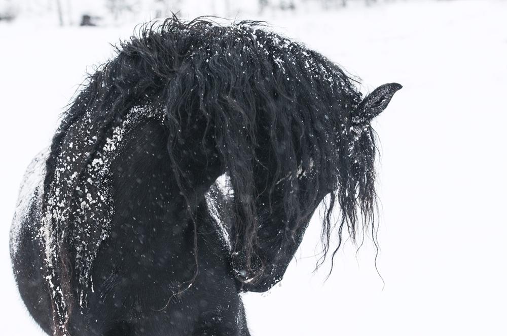 friesian matilde brandt snow4