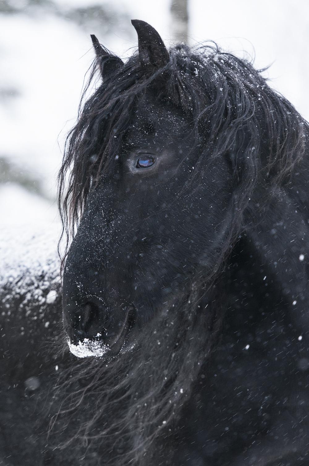friesian matilde brandt snow7