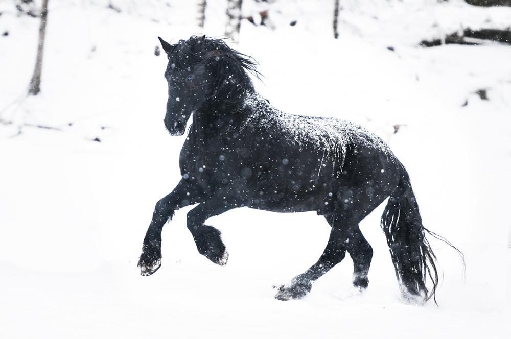 friesian matilde brandt snow8