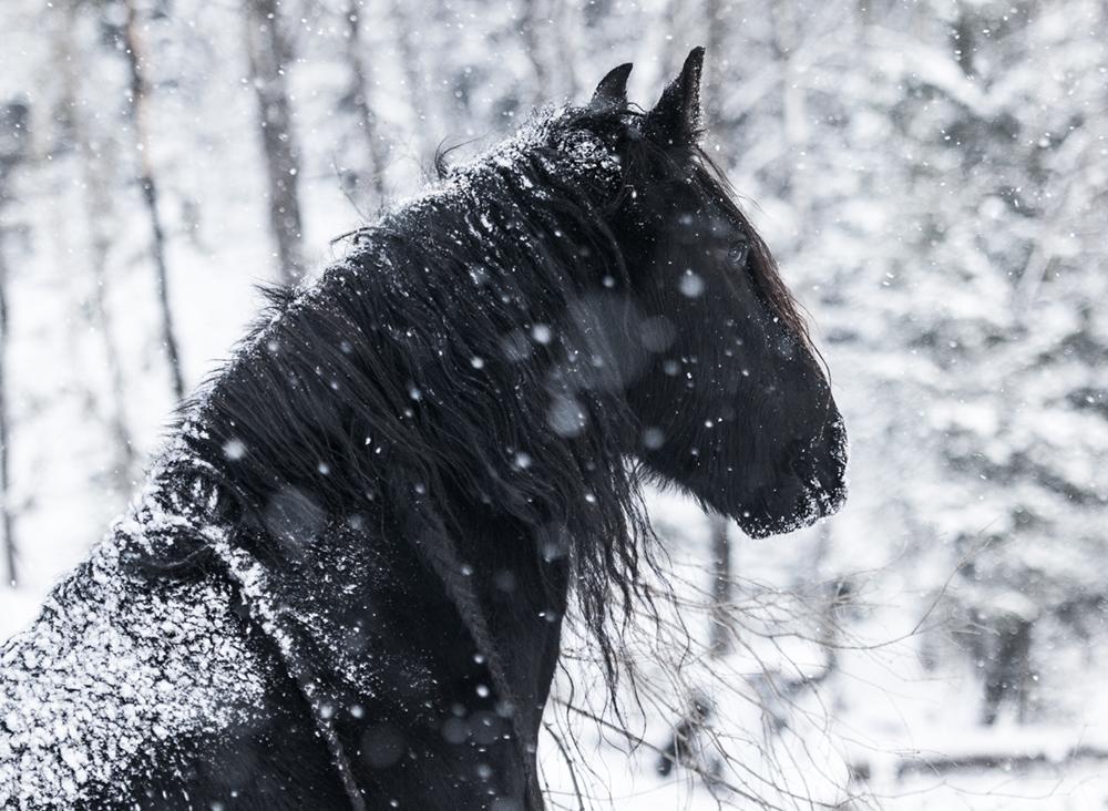 friesian matilde brandt snow9