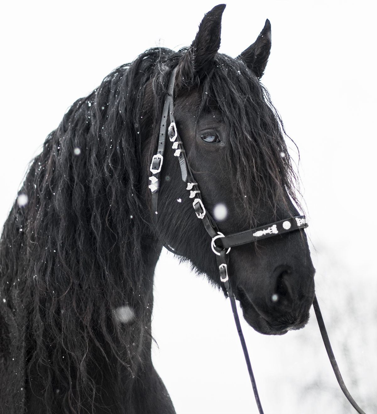 bitless baroque bridle6