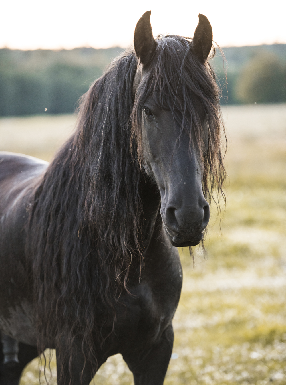 long-mane-friesian