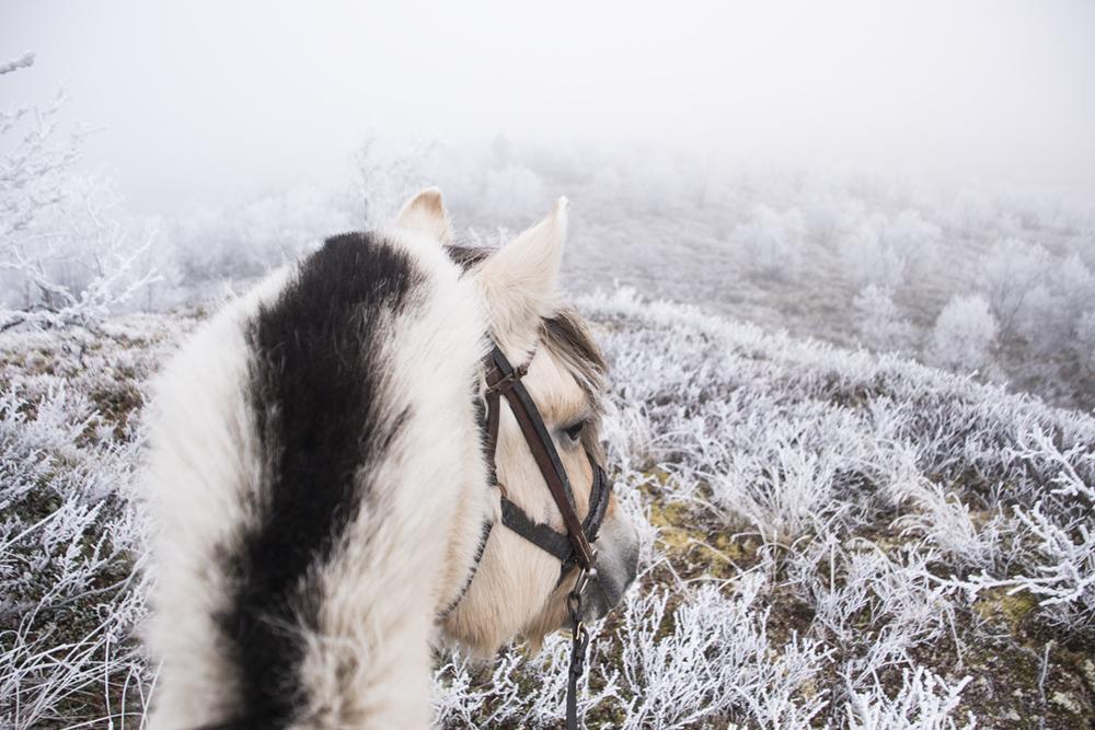 langedrag_fjordhorse_ride10