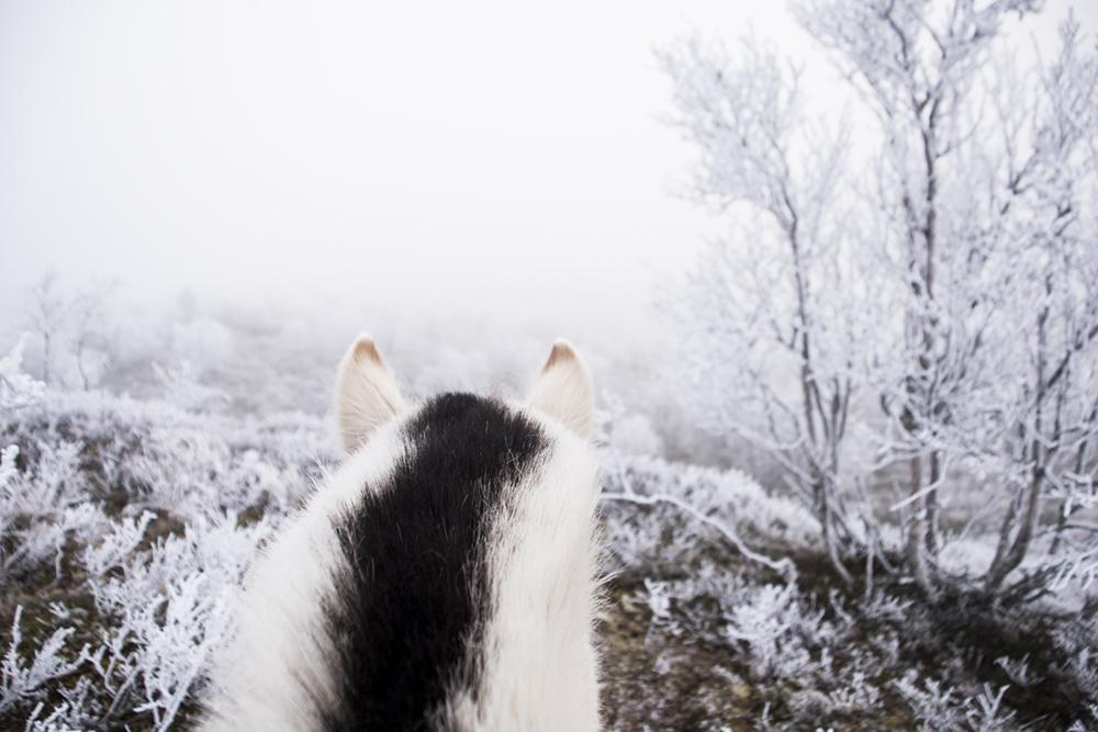 langedrag_fjordhorse_ride3