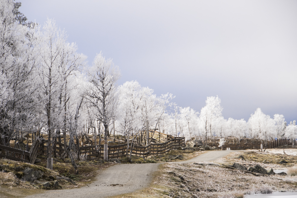langedrag_fjordhorse_ride38