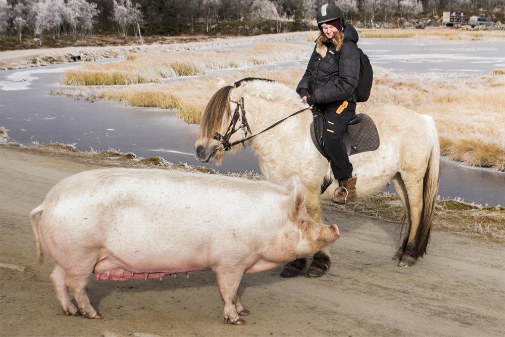 langedrag_fjordhorse_ride39