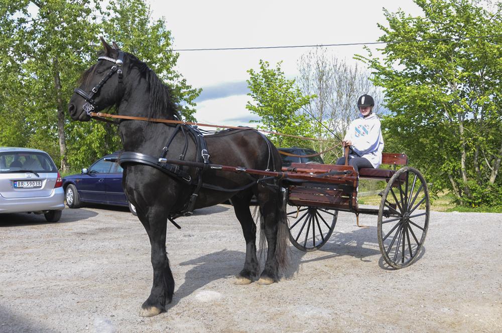 friesian-driving-cart