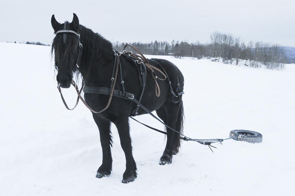 friesian-driving-harness