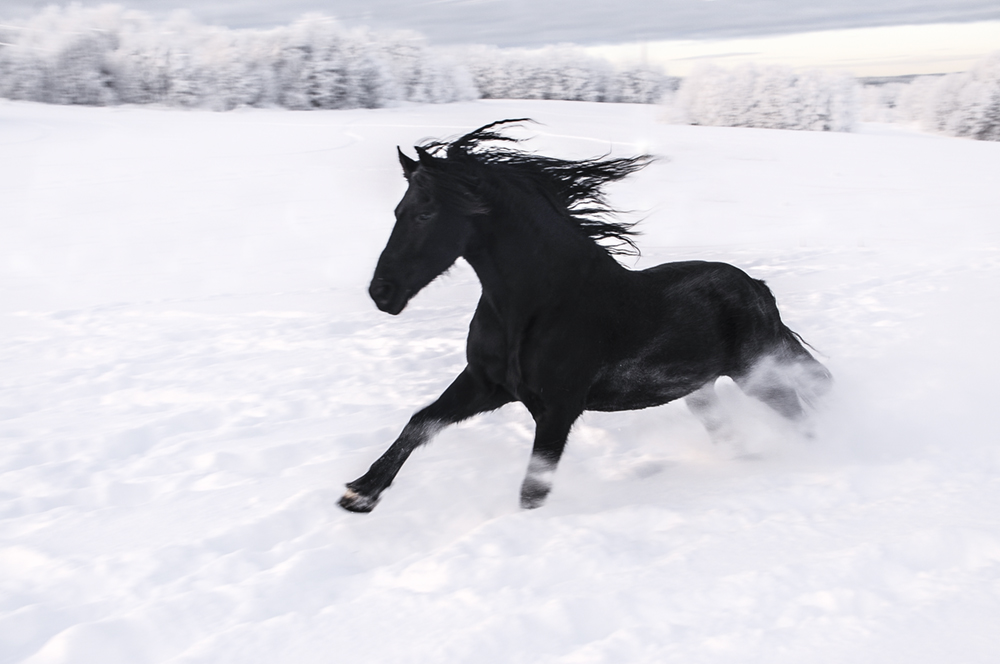 friesian-in-snow