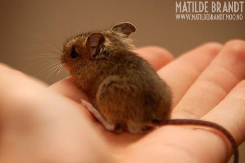 når en liten mus skal ut og gå